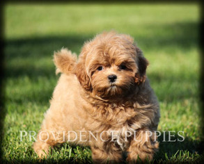 View Ad Poodle Toy Shih Tzu Mix Puppy For Sale Near Iowa Coppock