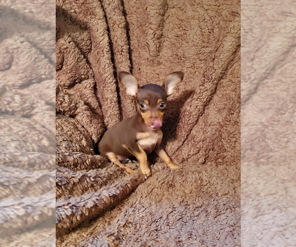 Medium Photo #1 Chihuahua Puppy For Sale in NOCONA, TX, USA