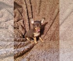 Small Photo #1 Chihuahua Puppy For Sale in NOCONA, TX, USA