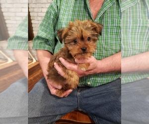 Yorkie-Apso Puppy for sale in CASTLE ROCK, WA, USA