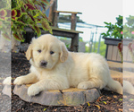 Small #5 English Cream Golden Retriever