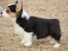 Pembroke Welsh Corgi Puppy For Sale in YORK, SC, USA