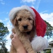Goldendoodle Puppy For Sale in DEBARY, FL, USA