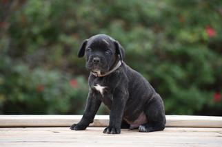Cane Corso Puppy For Sale in CASHION, OK