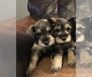 Schnauzer (Miniature) Puppy for sale in LEEDS, ND, USA
