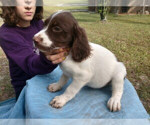 Brittany Puppy for sale in FORT MC COY, FL, USA