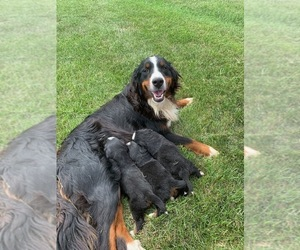 Bernese Mountain Dog Puppy for Sale in BROWNSTOWN, Indiana USA