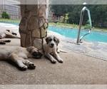 Puppy 3 Anatolian Shepherd-Maremma Sheepdog Mix