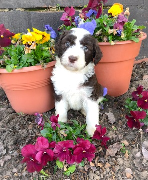 Aussiedoodle-Poodle (Standard) Mix puppy