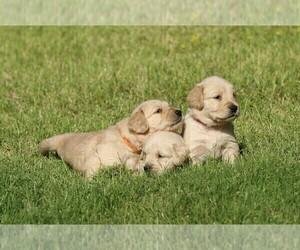 Golden Retriever Puppy for Sale in CLOVIS, California USA