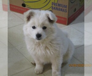 Siberian Husky-Standard Spitz Mix Puppy for sale in WILLIAMSPORT, MD, USA