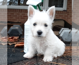 West Highland White Terrier Puppy for sale in BENSON, NC, USA