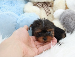 Yorkshire Terrier Puppy For Sale in LOUISVILLE, KY