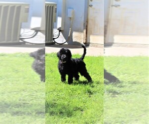 Goldendoodle Puppy for Sale in PORT CHARLOTTE, Florida USA