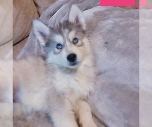 Siberian Husky Puppy for Sale in RINGGOLD, Georgia USA