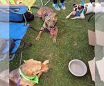 Small #297 American Pit Bull Terrier-Labrador Retriever Mix