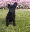 German Shepherd Dog Puppy For Sale in ARTHUR, IL,
