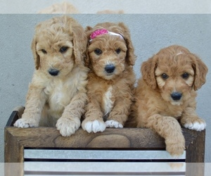 Goldendoodle-Poodle (Miniature) Mix Puppy for sale in SARATOGA SPRINGS, UT, USA