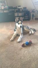 Siberian Husky Puppy For Sale in LYNNVILLE, IN
