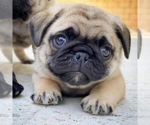 Medium Pug