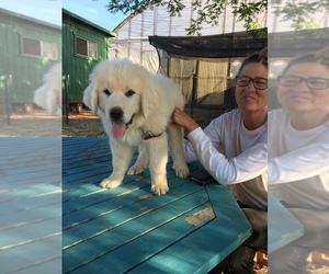 Great Pyrenees Puppy for sale in OREGON HOUSE, CA, USA