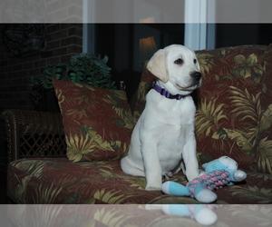 Labrador Retriever Puppy for sale in SYRACUSE, NE, USA