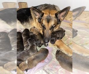 American Bulldog-German Shepherd Dog Mix Dog for Adoption in FAIRVIEW, North Carolina USA