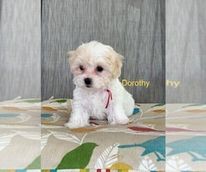 Maltipoo Puppy for sale in BRANSON WEST, MO, USA