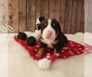 Greater Swiss Mountain Dog Puppy for sale in Goleniow, West Pomerania, Poland