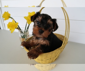 Yorkshire Terrier Puppy for sale in BLOOMINGTON, IN, USA