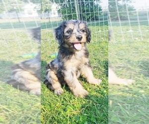 Aussiedoodle Miniature -Poodle (Miniature) Mix Puppy for Sale in OTTAWA, Ohio USA