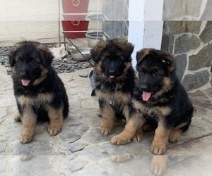 German Shepherd Dog Puppy for sale in NORTHRIDGE, CA, USA