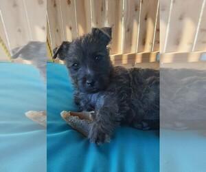 Cairn Terrier Puppy for sale in PUEBLO, CO, USA