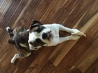 Olde English Bulldogge Puppy For Sale in WHITE LAKE, MI,