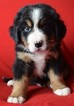 Bernese Mountain Dog Puppy For Sale in GRAND JUNCTION, CO, USA