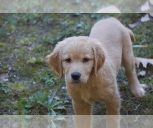 Golden Retriever Puppy for sale in PETERBOROUGH, NH, USA