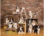 Australian Shepherd Puppy For Sale in ROBERTS, IL, USA
