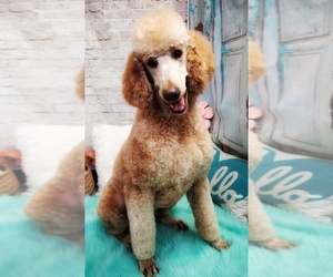 Father of the Labradoodle puppies born on 10/14/2020