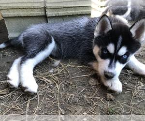 Siberian Husky Puppy for Sale in OTISCO, Indiana USA