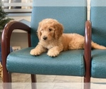 Small #30 Goldendoodle-Poodle (Standard) Mix