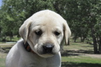 Labrador Retriever Puppy For Sale in GREELEY, CO, USA