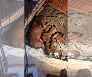 Mother of the Chesapeake Bay Retriever puppies born on 11/18/2020