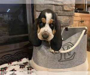 Basset Hound Puppy for sale in GRAVOIS MILLS, MO, USA