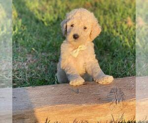 Medium Goldendoodle-Poodle (Standard) Mix