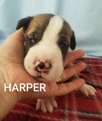 Great Dane Puppy for sale in SAINT CLOUD, FL, USA