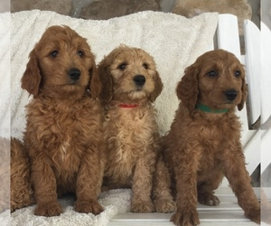 Goldendoodle-Poodle (Standard) Mix Puppy for Sale in WARSAW, New York USA
