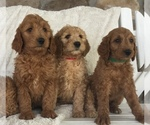Goldendoodle-Poodle (Standard) Mix Puppy For Sale in WARSAW, NY, USA