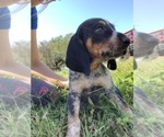 Puppy 6 Bluetick Coonhound
