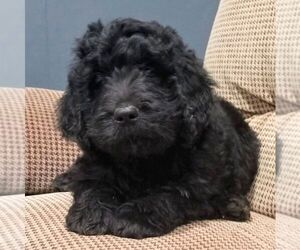 Newfoundland-Poodle (Standard) Mix Puppy for sale in SHIPPENSBURG, PA, USA