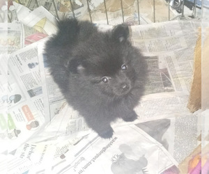 Pomeranian Puppy for sale in SPOTSYLVANIA, VA, USA